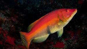 «Los gobiernos del Atlántico Nordeste ignoran al 79% de peces amenazados de extinción»