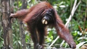 Insólito: una hembra silvestre de orangután mata a otra con la ayuda de un macho