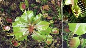Las plantas carnívoras usan las matemáticas para cazar