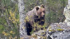 «Los osos pardos no son agresivos»