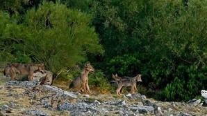 Lobo: Desarrollan una nueva metodología para calcular sus grupos reproductores