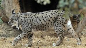Lince ibérico: detectan la primera camada silvestre en el área de reintroducción del Río Guarrizas