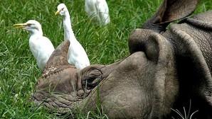 Suazilandia quiere legalizar el comercio de cuerno de rinoceronte para proteger a sus 73 ejemplares