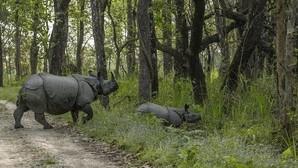 Nepal lleva dos años consecutivos sin registrar la muerte ilegal de un rinoceronte