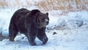 Matan a tiros a «Scarface», el oso más famoso del parque Yellowstone