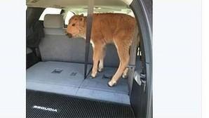 Sacrifican a la cría de bisonte que unos turistas de Yellowstone «secuestraron» para rescatarla del frío