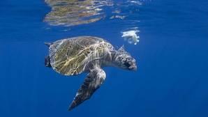 Vídeo: Así se rescata a una tortuga atrapada por el plástico
