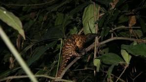 Pangolín: Hong Kong incauta cuatro toneladas de escamas del mamífero procedentes de Camerún