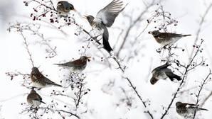 Las aves prefieren los pinares naturales a los reforestados