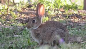 Doñana reforzó sus poblaciones de conejo con 8.000 ejemplares en 2015