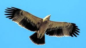 El águila imperial remonta el vuelo