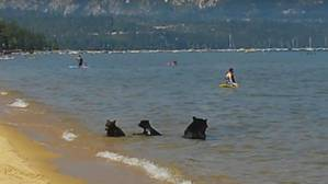 Una mamá oso y sus oseznos se dan un refrescante baño en el lago Tahoe