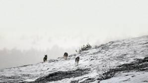 WWF rechaza el cupo de lobos abatidos fijado por la Junta de Castilla y León hasta 2019: 429 ejemplares