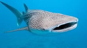 Día Internacional del Tiburón Ballena