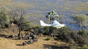 Elefante de la sabana: su población descendió en un 30% entre 2007 y 2014