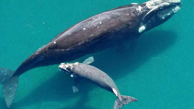 Fotografía de la ballena identificada como Alfonsina, la cual forma parte del programa de adopción del Instituto de Conservación de Ballenas ICB