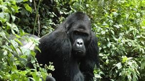 Cuatro de los seis grandes simios, a un paso de la extinción