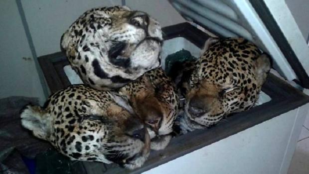 Los agentes medioambientales han asegurado que la operación está relacionada con el tráfico de fauna
