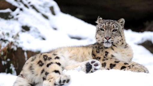 La belleza de su piel se ha convertido en uno de los objetivos más codiciados por los cazadores