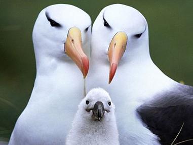 La erupción de un volcán activo significaría el fin de estas aves