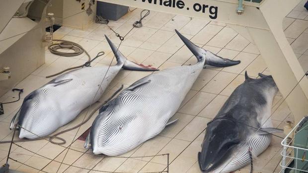 Tres ejemplares de ballena sobre la cubierta de un ballenero japonés