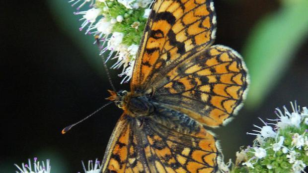 El UICN alertó de que 19 especies de mariposas del Mediterráneo, 15 de ellas endémicas, están a punto de desaparecer