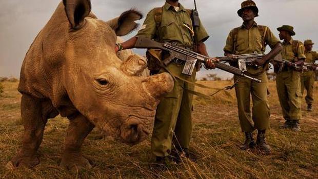Un rinoceronte blanco, protegido por un grupo de rangers