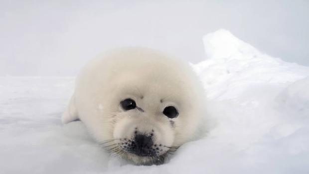 Cría de foca de Groelandia