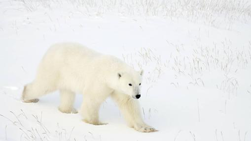 Oso polar en la tundra en la bahí de Hudson (Canadá)