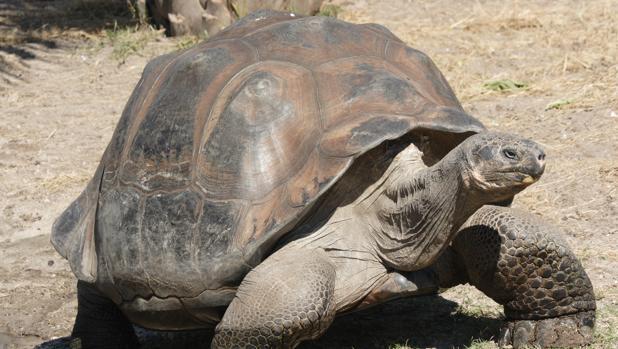 Ejemplar de una tortuga gigante. Se conocen 15 especies de estas tortugas, y tres de ellas se han extinguido