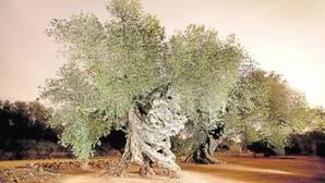 Olivos: España, el último reducto de ejemplares milenarios