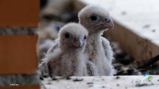 El ejemplar de halcón peregrino nacido en Fuenlabrada la primavera pasada que ha sido tiroteado, junto a su hermano