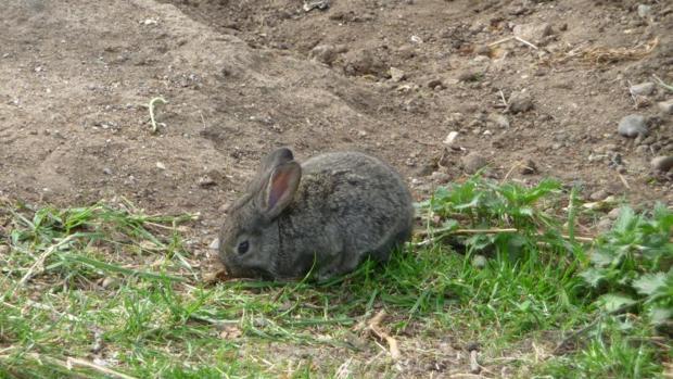 Conejo común (Oryctolagus cuniculus)