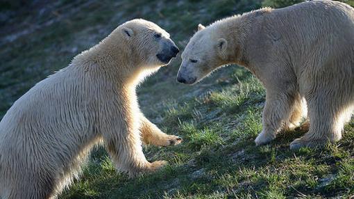 El Parque de Vida Silvestre de Yorkshire desarrolla en la actualidad el «Proyecto Polar», a la que pertenece esta fotografía, para la rehabilitación de osos cautivos