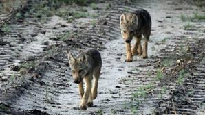 Noruega planea matar al 70% de sus lobos silvestres