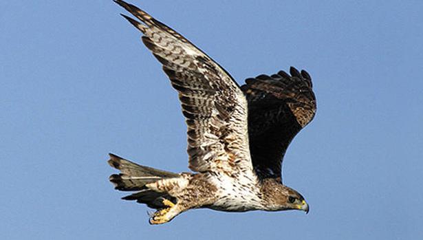 Al menos 92 águilas perdiceras, una especie en peligro de extinción en Europa, han muerto en Cataluña por electrocución desde 1990,