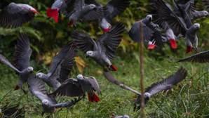 Loro gris africano: La Cites prohíbe su comercio internacional