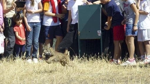 Liberación de un ejemplar de lince ibérico en España
