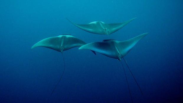 Se debe mejorar la trazabilidad de los productos derivados de rayas y tiburones