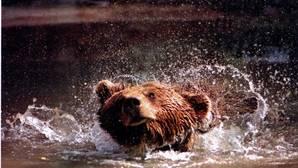 Rumanía prohíbe los trofeos de caza de osos, lobos y linces