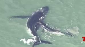 YouTube: Una desesperada cría de ballena intenta salvar a su madre encallada en la arena