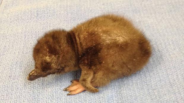 Cría de pingüino azul (originario de Nueva Zelanda y Australia)