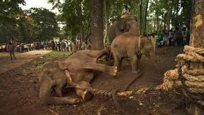 Elefante asiático: décadas de furtivismo han propiciado que algunos machos nazcan sin colmillos
