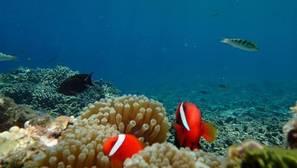 Algunos peces nadan hacia sus depredadores debido al aumento del CO2 en el mar