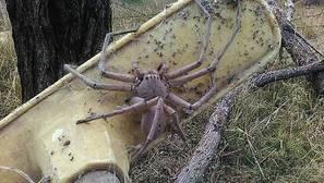 ¿Es la araña más grande que has visto nunca?