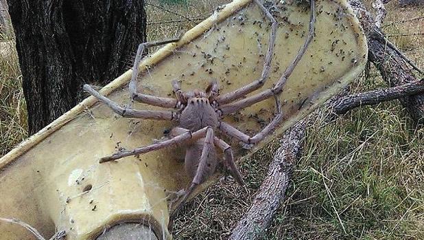 La araña cangrejo gigante se conoce también como araña de la madera en Australia