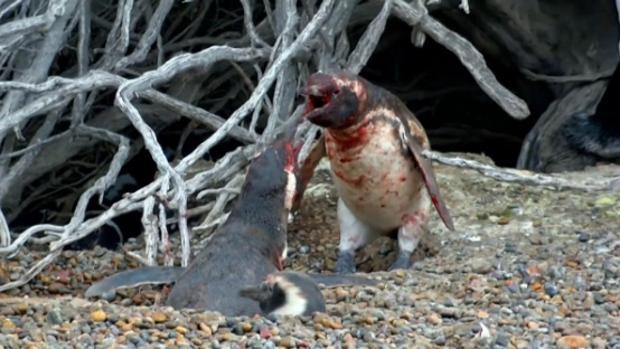 Los pingüinos machos mantuvieron una brutal pelea tras descubrir la infidelidad