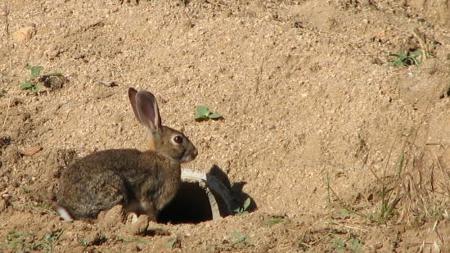 Ejemplar de conejo de campo
