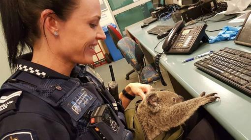 Le han puesto «Alfred» al koala