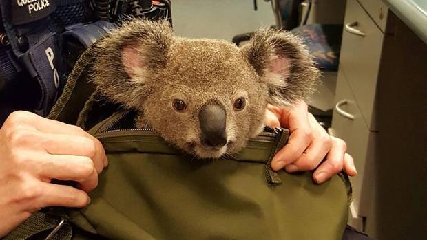 La mujer fue arrestada y el koala se encuentra bajo los cuidados de una organización